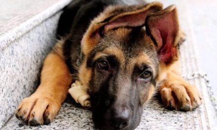 Un vétérinaire met en garde contre une nouvelle infection qui se répand chez les chiens et les humains